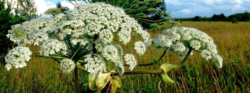Россельхознадзор Республики Башкортостан сообщил о появлении ядовитого растения