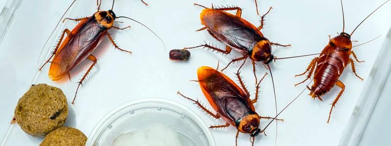 Тараканы: описание, образ жизни, интересные факты